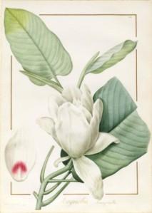 Pierre-Joseph-Redouté 1811 Magnolia macrophylla-1811 vellum